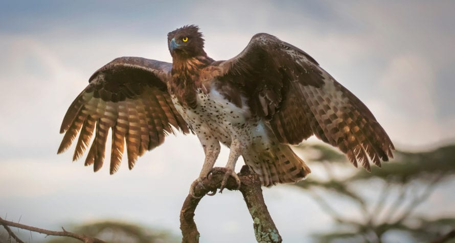 Careful eyes might spot the martial eagle in the Masai Mara. © Shutterstock