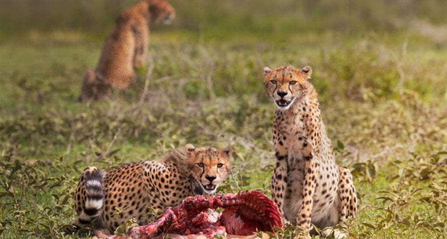 Lucky safari goers will see a cheetah kill in the Masai Mara. © Shutterstock