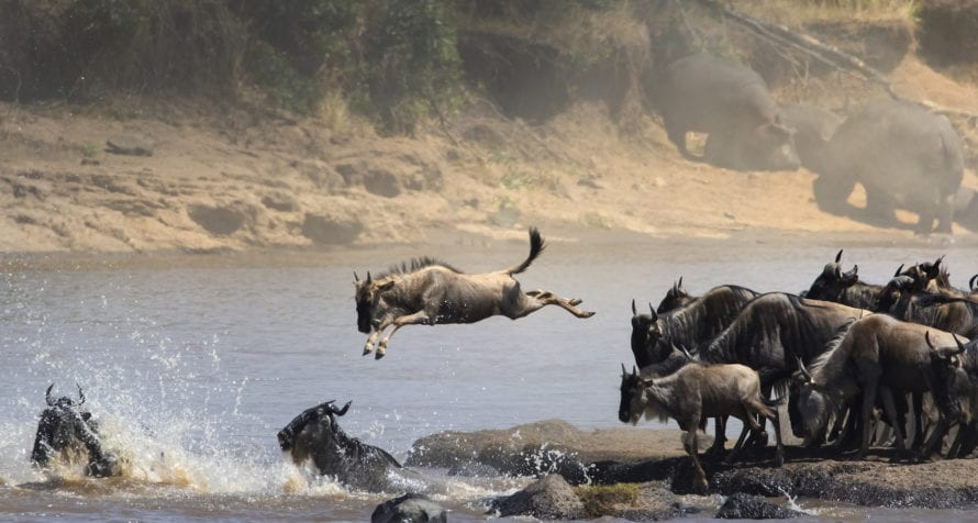 The Great Wildebeest Migration passes through the Masai Mara. © Shutterstock