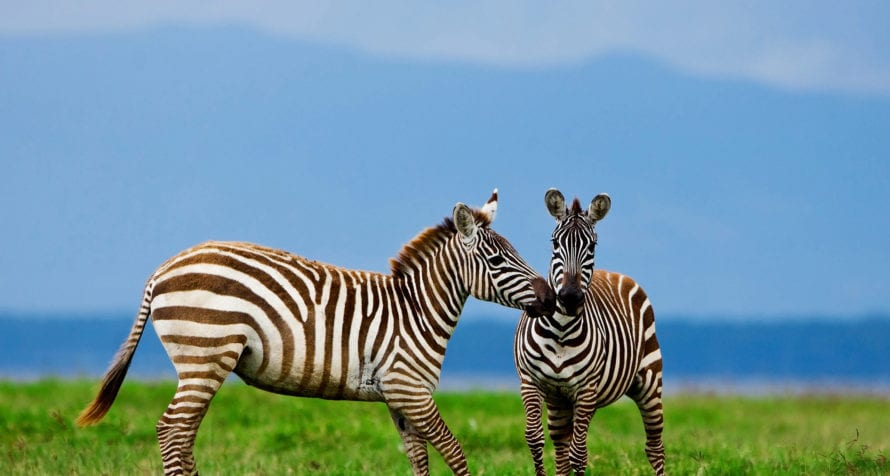 Striped zebras contrast wonderfully against the greens and blues of Ngorongoro Crater. © Shutterstock