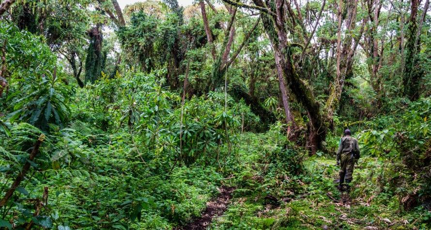 You can go gorilla trekking in Volcanoes National Park. © Shutterstock