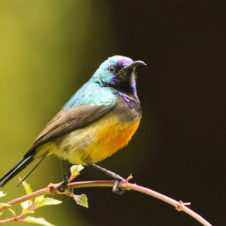 Volcanoes National Park is full of birdlife, like this variable sunbird. © Shutterstock