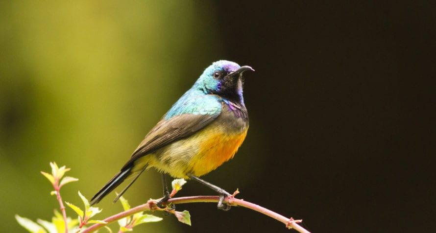 Volcanoes National Park is full of birdlife, like this variable sunbird. © Shutterstock
