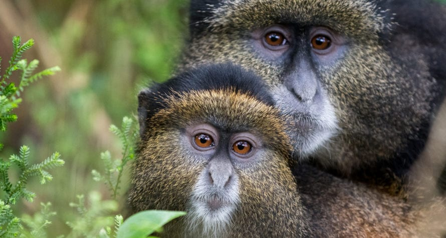 Golden monkeys are some of the other primates that inhabit Volcanoes National Park. © Shutterstock