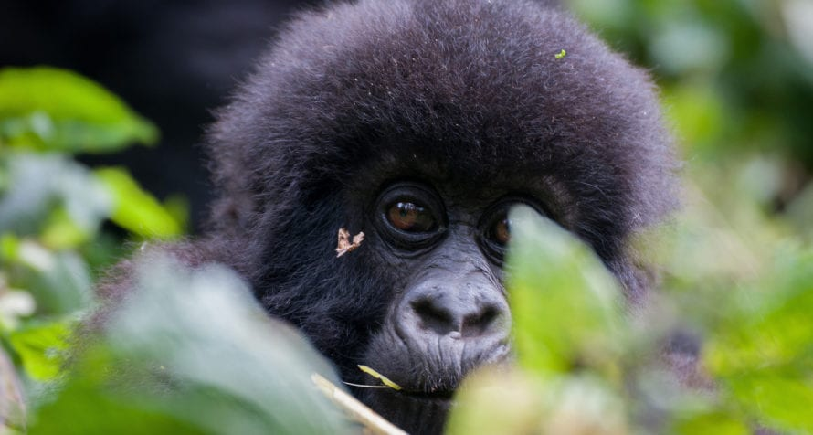 Mountain gorilla are the most compelling reason to visit Volcanoes National Park. © Shutterstock