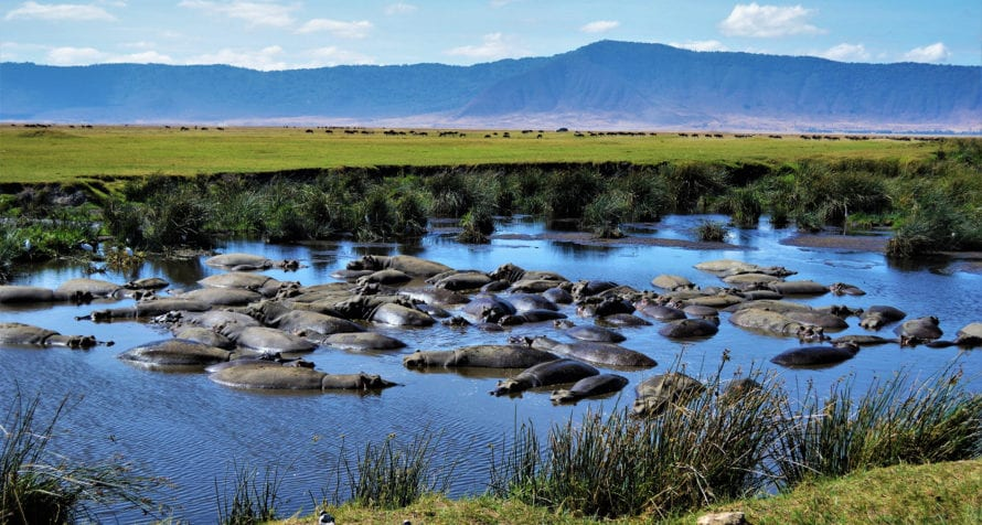 Hippos wallow in the waters of Ngorongoro Crater. © Shutterstock
