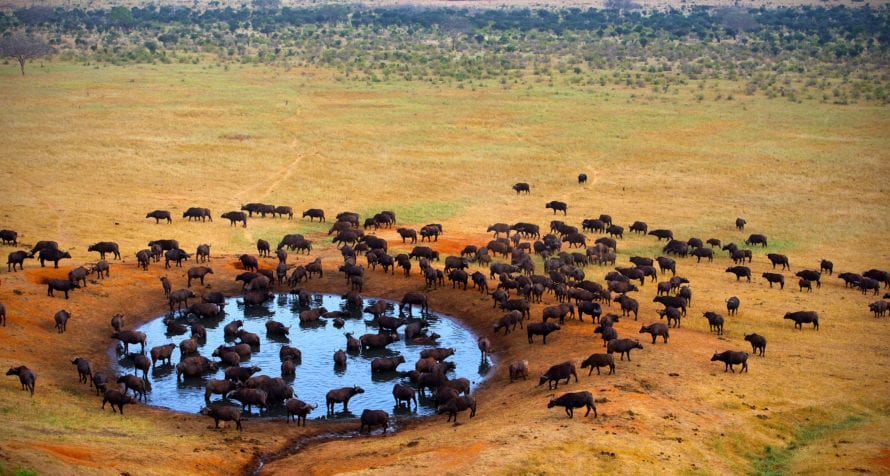 Wildlife, like buffalo, are attracted to the waterholes of the Serengeti. © Shutterstock