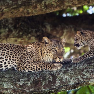 The Serengeti is home to shy leopards. © Shutterstock