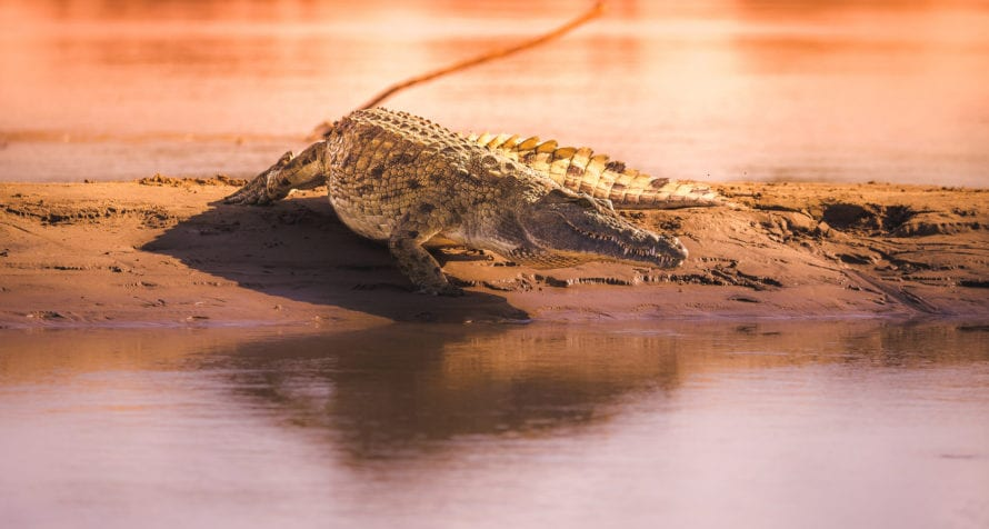 Crocodiles are found in the rivers of the Serengeti. © Shutterstock