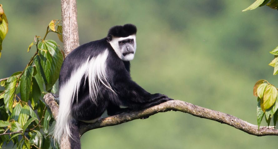 Bwindi Impenetrable Forest is full of primates, including white colobus monkeys. © Shutterstock