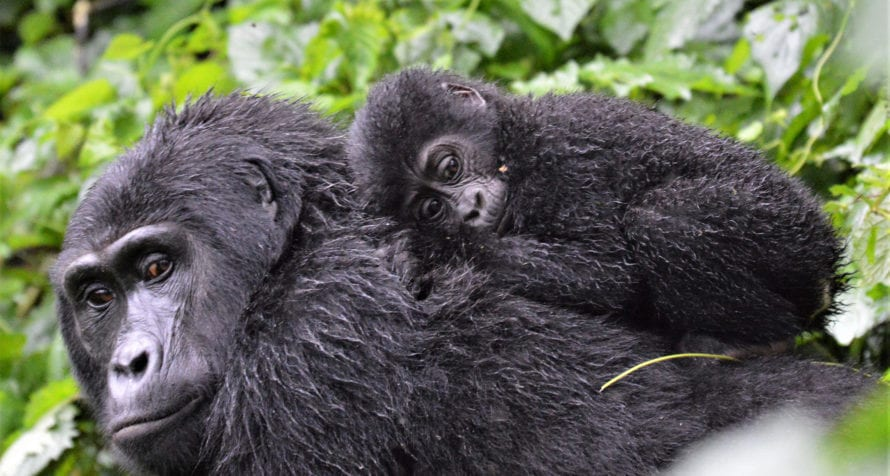 Bwindi Impenetrable Forest contains around half of the world's remaining mountain gorilla. © Shutterstock