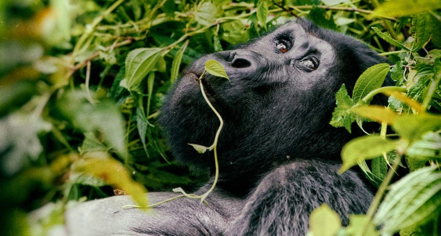 Bwindi Impenetrable Forest is famed for its gorilla trekking experiences. © Shutterstock