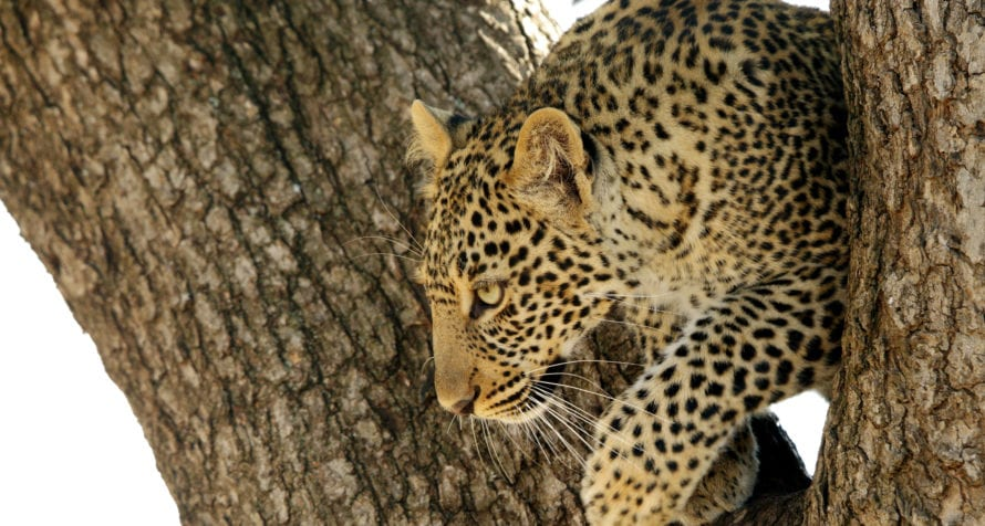Leopard can be spotted in Kenya's trees. © Shutterstock