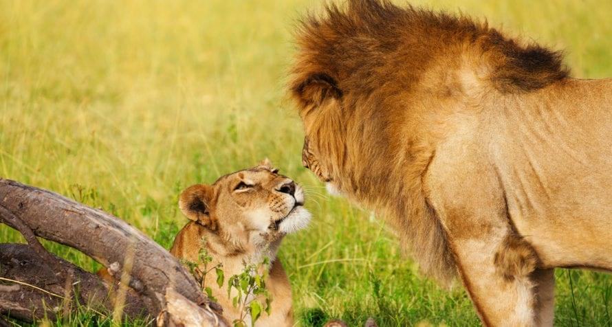 Lion roam the plains of Amboseli. © Shutterstock
