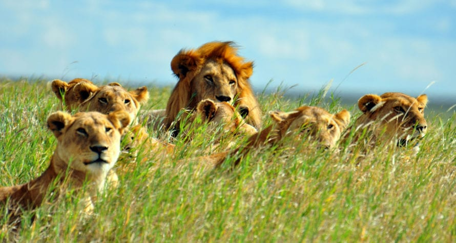 Lion live in prides, as you'll see on safari in East Africa. © Shutterstock