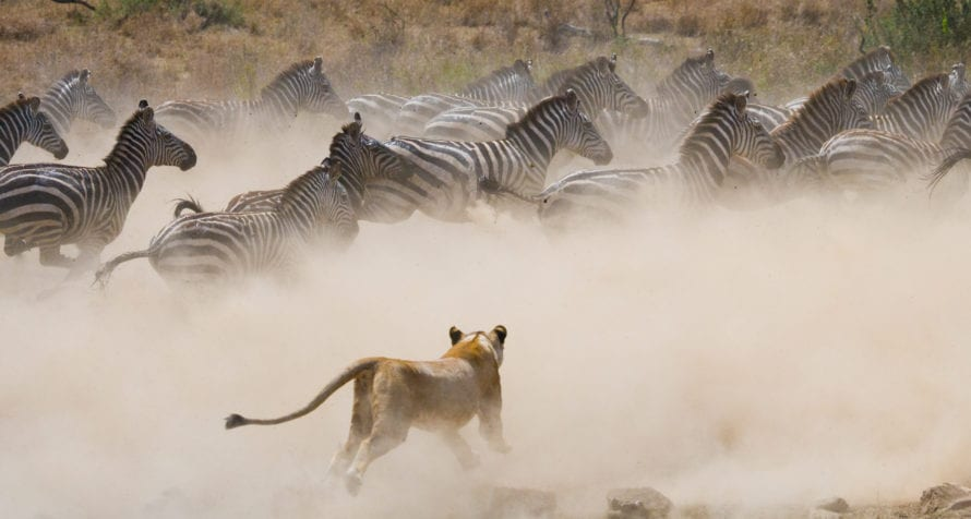 There's nothing more exciting than witnessing a hunt on safari in East Africa. © Shutterstock