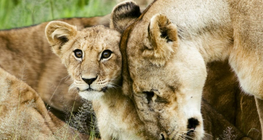 Lionesses are very caring with their cubs. © David Dennis