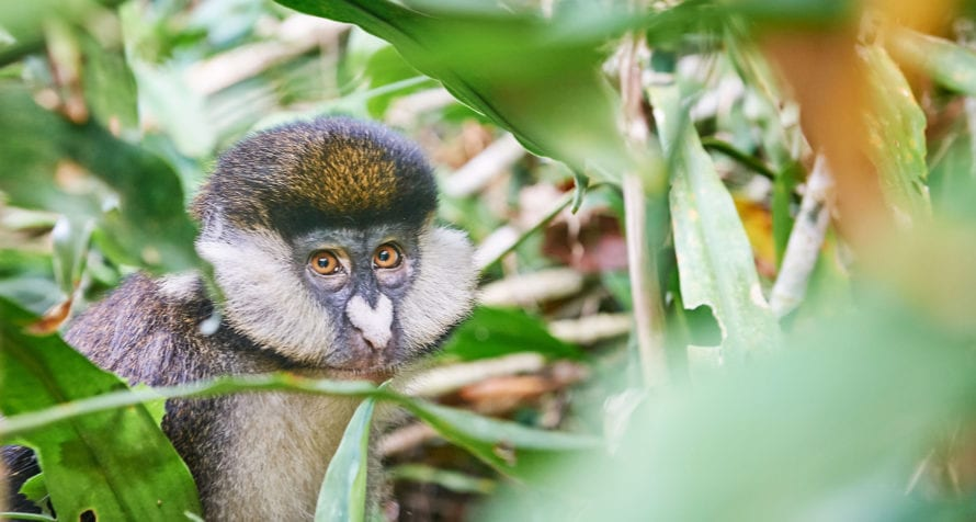 Golden monkeys are also found near Volcanoes Bwindi Lodge. © Volcanoes Safaris