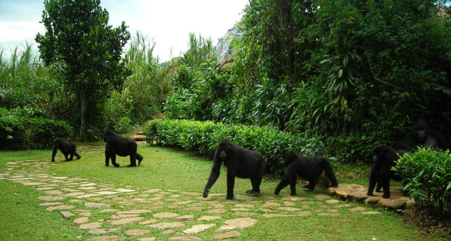 Sometimes gorillas come right through camp at Volcanoes Bwindi Lodge. © Volcanoes Safaris