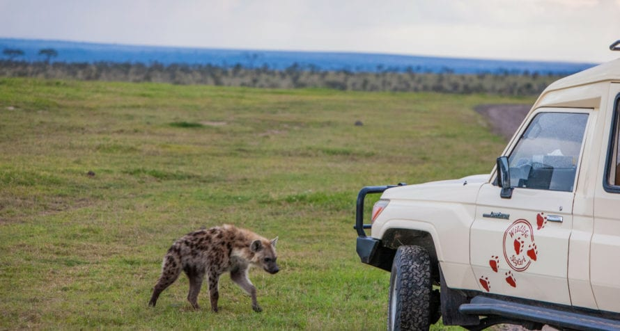 Hyena sometimes come close to Wildlife Safari vehicles. © Wildlife Safari