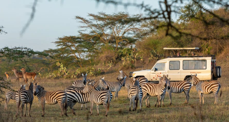 Zebra are quite comfortable with safari vehicles. © Wildlife Safari