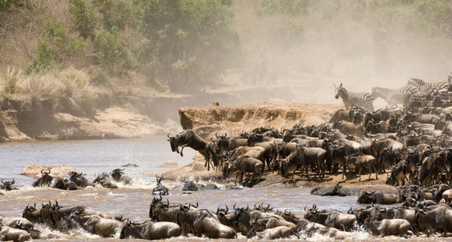 A river crossing by the migration is breathtaking to witness. © iStock Viewers can download