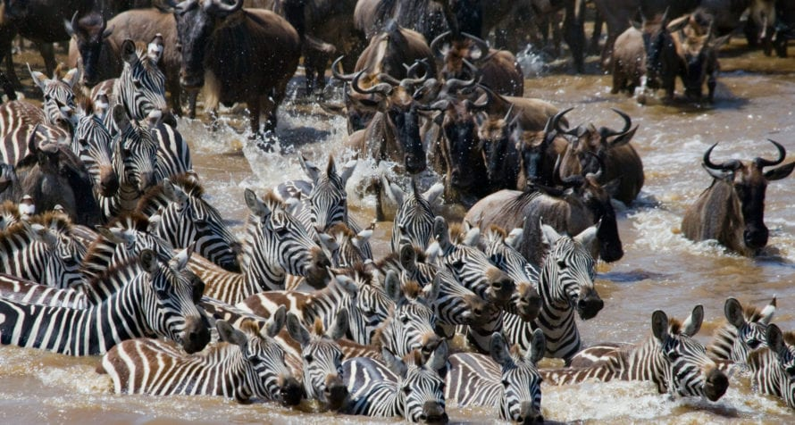 The Great Wildebeest Migration does a circuit of the Serengeti. © iStock