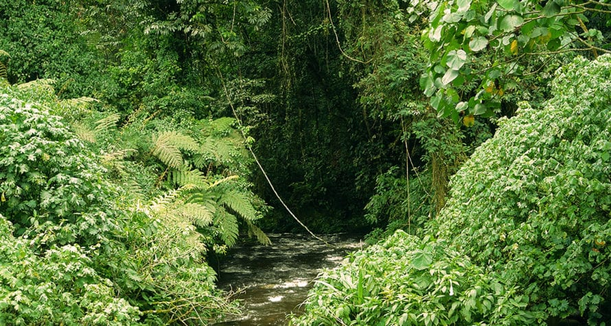 Bwindi Impenetrable Forest gets its name from its abundance of vegetation. © iStock
