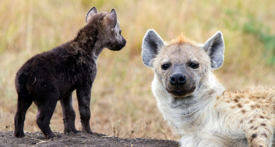 Hyena are at home in the Masai Mara. © iStock