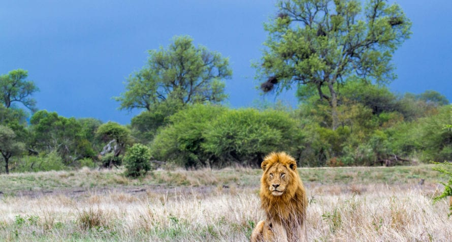 Seeing lion is a highlight of any trip to Kenya. © iStock