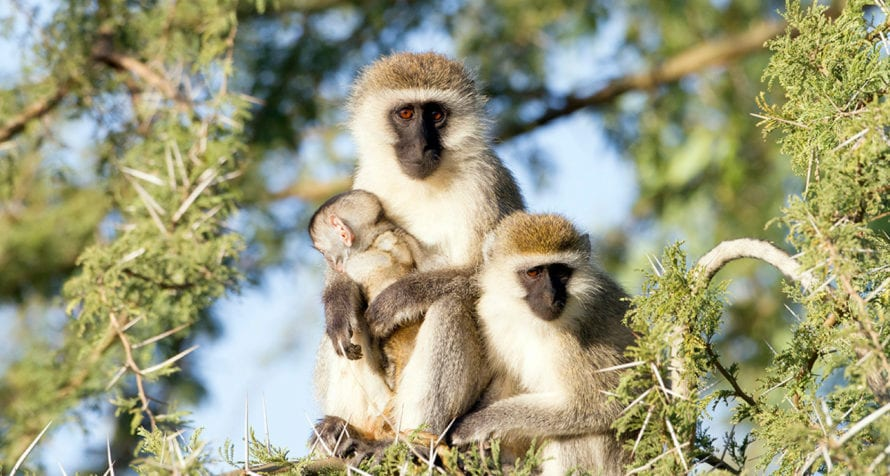 Vervet monkeys can be found in Kenya. © iStock