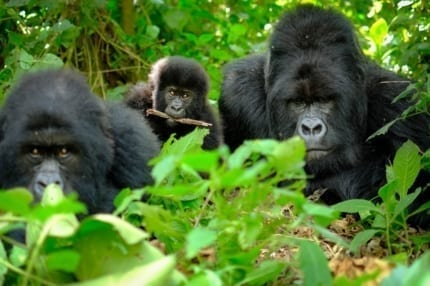 Visit a gorilla family on a trek in Rwanda. © Shutterstock