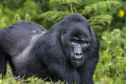 The size of a silverback gorilla will astonish you. © Shutterstock