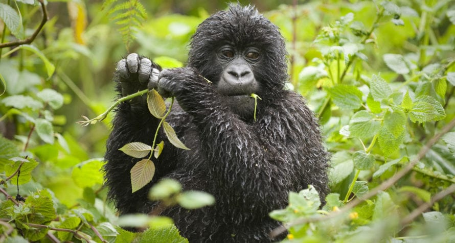 Volcanoes Virunga Lodge is surrounded by dense forest and enigmatic wildlife. © Volcanoes Safaris