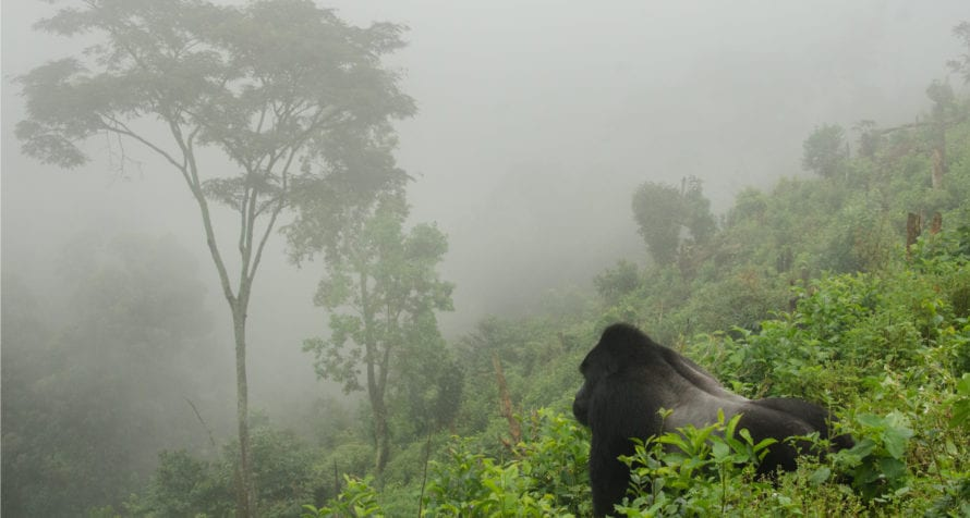 In Rwanda you can see the quintessential gorilla in the mist. © Shutterstock