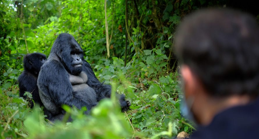 You can get remarkably close to gorilla on treks in Rwanda. © Shutterstock