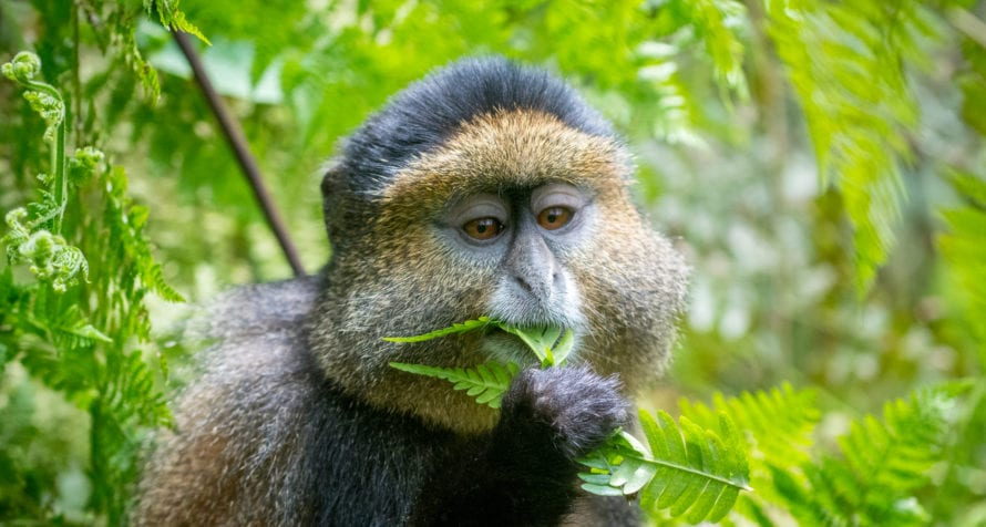 Golden monkeys are some of the other primates you'll see when gorilla trekking in Rwanda. © Shutterstock