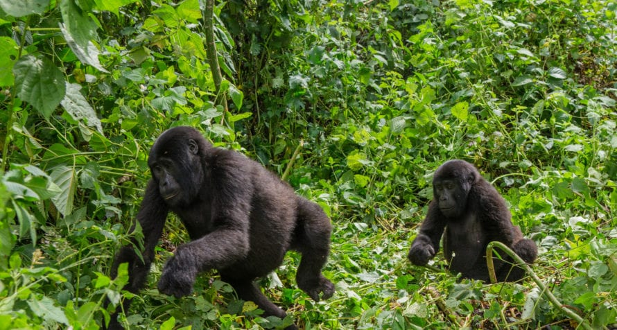 Gorilla trekking in Uganda is unforgettable. © Shutterstock